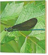 Ebony Jewelwing Damselfly - Calopteryx Maculata Wood Print