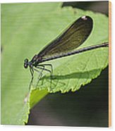 Ebony Jewelwing Damselfly  Wood Print