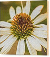 Echinacea Fading Beauty Wood Print by Omaste Witkowski