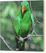 Eclectus Parrot-1 Wood Print