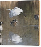 Egret And Geese At Gilbert  Riparian Preserve Wood Print