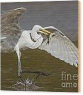 Egret Happy Dance...... Wood Print