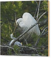 Louisiana Egret With Babies In Swamp Wood Print