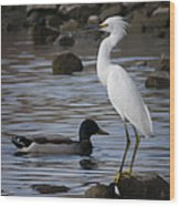 Egret Standing Guard Wood Print