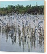 149838-egrets Feeding, Everglades Nat Park  Wood Print