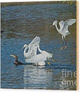 Egrets Robbing A Cormorant Wood Print