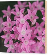 Egyptian Star Flowers Or Penta Wood Print