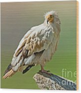 Egyptian Vulture Wood Print