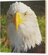 Bald Eagle Head Shot Two Wood Print
