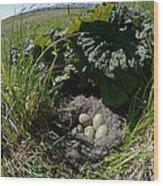 Eider Eggs Wood Print