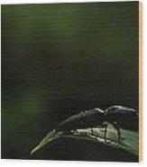 Elateridae Beetle At Sunrise 1 Wood Print