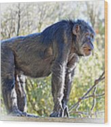 Elderly Chimpanzee Wood Print