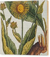Elecampane Wood Print by Elizabeth Blackwell