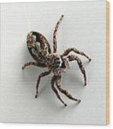 Elegant Jumping Spider Wood Print by Christina Rollo