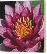 Elegant Lotus Water Lily Wood Print