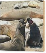 Elephant Seal Birthing Grounds Two Elephant Seal Bulls Fighting Wood Print by Artist and Photographer Laura Wrede