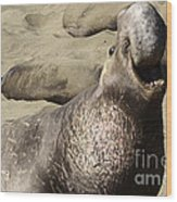 Elephant Seal Wood Print