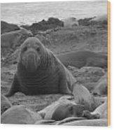 Elephant Seal Bull Wood Print