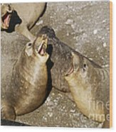 Elephant Seal Confrontation Wood Print by James L. Amos