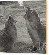 Elephant Seal Confrontation Wood Print