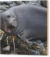 Elephant Seal Of Ano Nuevo State Reserve Wood Print