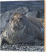 Elephant Seal Pup... Wood Print