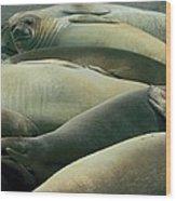 Elephant Seal Pups Wood Print
