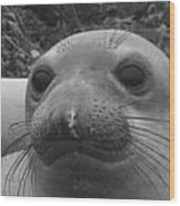 Elephant Seal Smirk Wood Print by Gwendolyn Barnhart
