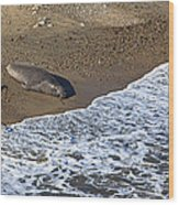 Elephant Seal Sunning On Beach Wood Print