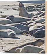 Elephant Seals At Ano Nuevo State Park California Wood Print by Natural Focal Point Photography