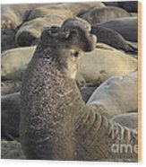 Elephant Seals Wood Print