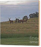 Elk 2 Wood Print