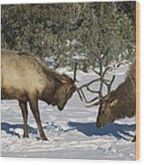 Elk  Bulls Fighting In Yellowstone Wood Print