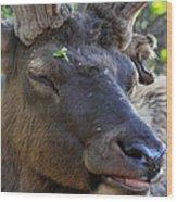 Elk Chuckle Wood Print