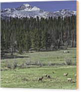 Elk Cows In Beaver Meadows Wood Print by Tom Wilbert