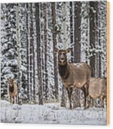 Elk In Jasper Wood Print