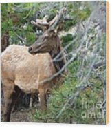 Elk In Rocky Mountain National Park Wood Print
