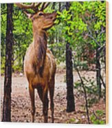 Elk - Mather Grand Canyon Wood Print