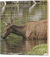 Elk Pictures 36 Wood Print