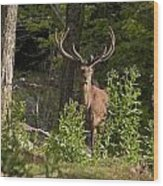 Elk Pictures 82 Wood Print