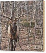Elk Pictures 86 Wood Print