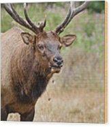 Elk Staring Wood Print