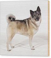 Elkhound Dog Wood Print