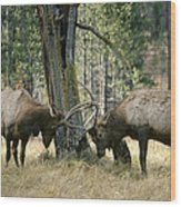 Elks Sparring Yellowstone Np Wyoming Wood Print