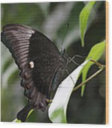 Emerald Peacock Swallowtail Butterfly #6 Wood Print