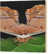 Emperor Gum Moth - 6 Inch Wing Span Wood Print