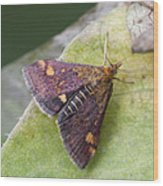 Emperor Moth Wood Print