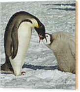 Emperor Penguin Chick Feeding Wood Print
