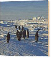 Emperor Penguin Group Walking On Ice Wood Print
