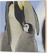 Emperor Penguin Parent Feeding Chick Wood Print